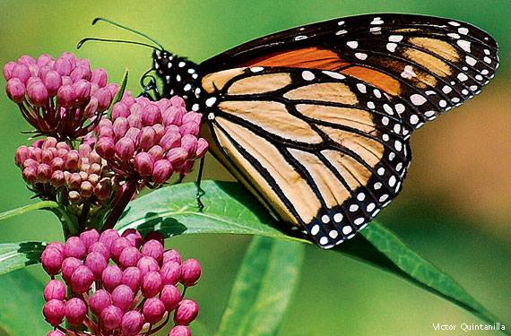 Monarchs, Milkweeds & More @ Merrick State Park | Fountain City | Wisconsin | United States
